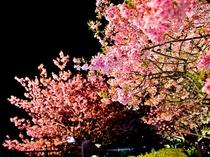 河津桜(ライトアップ)