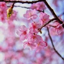 今年の桜も綺麗に咲いています(河津)