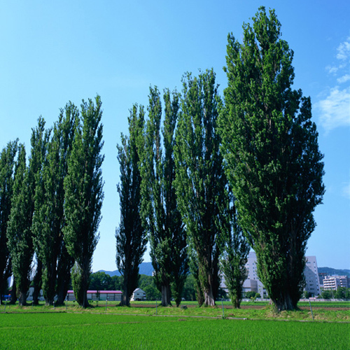北海道大学のポプラ並木