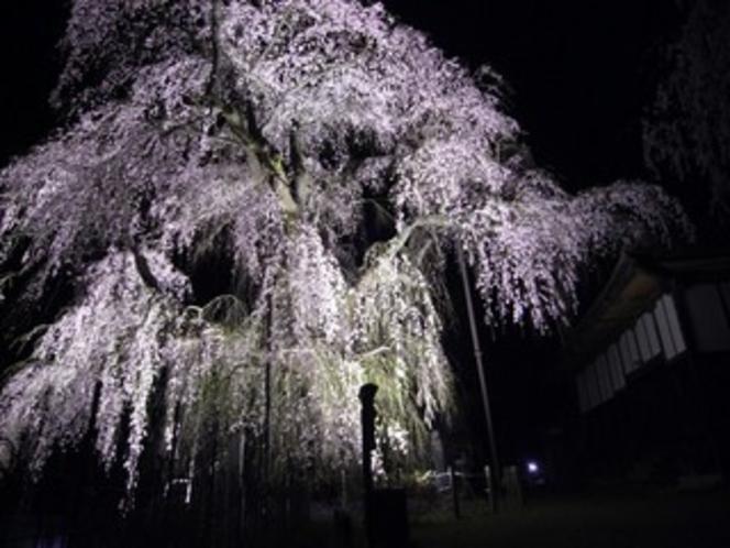 ライトアップされた中正寺のしだれ桜