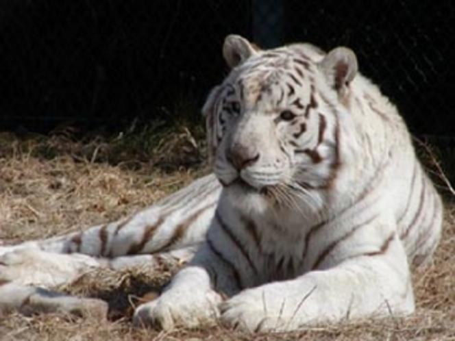 ホワイトタイガー(群馬サファリパーク)