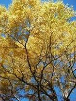 輝く黄葉は、カツラの樹。