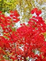 白樺の黄葉とカエデの紅葉。