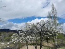 スモモの白い花