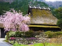 【かやぶきの里ー春ー】桜のシーズン