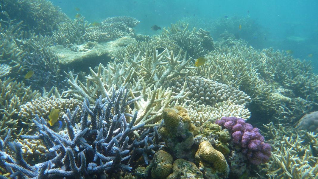 *西表島のサンゴ礁。きれいな海でしか見られない光景です。
