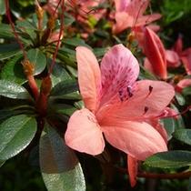 *サキシマツツジ/見ているだけでわくわくする色とりどりのお花たち
