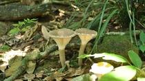 *西表島では様々な種類のキノコがいたるところに生えております。