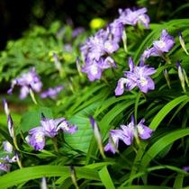 ヒメシャガの花 5月〜6月が見頃です。