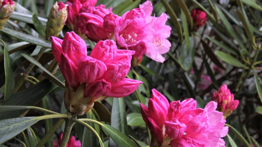 庭園の石楠花