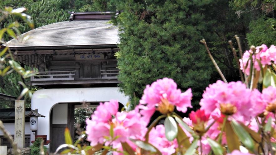 門前・駐車場の石楠花