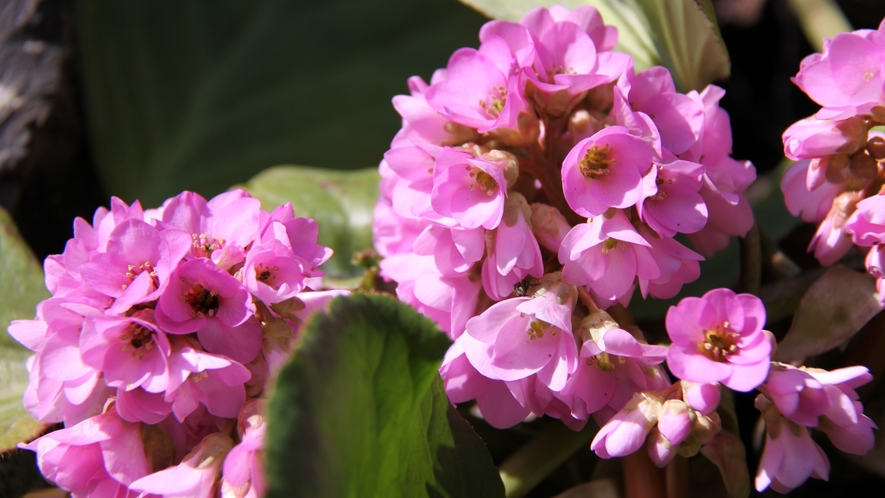 *ヒマラヤ雪の下・2〜4月頃ピンクの花が咲きます