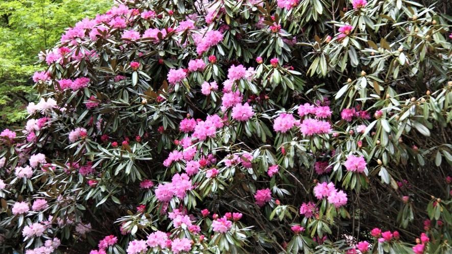 庭園に咲く満開の石楠花