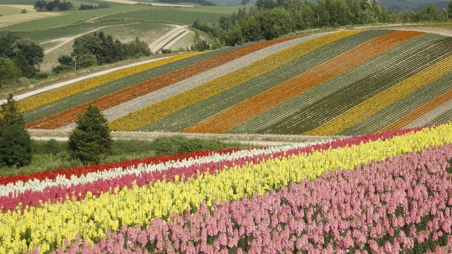 ■周辺観光(富良野)_色とりどりの花畑。