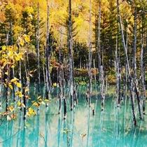 【青い池】(秋)まで車で10分