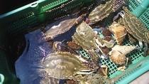 *活渡り蟹