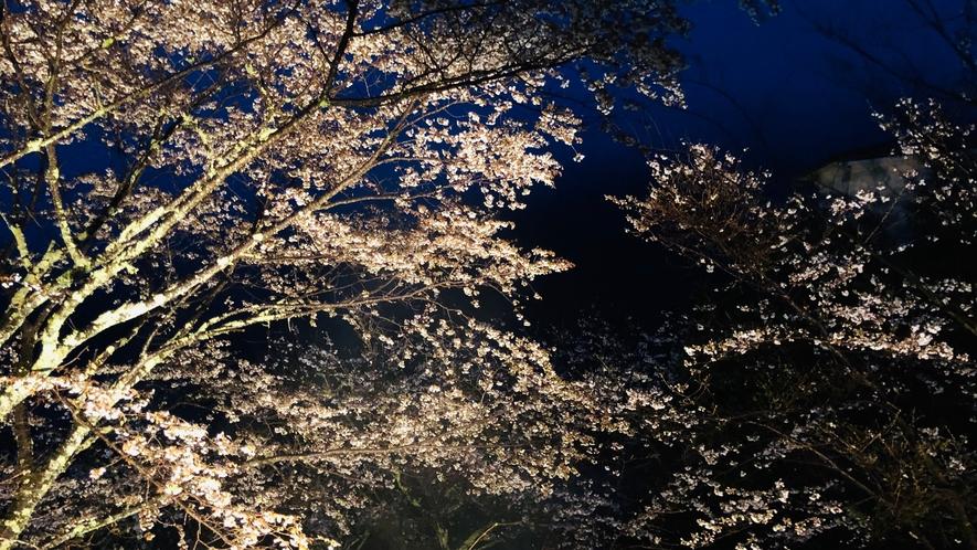 客室からの眺め 夜桜ライトアップ