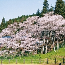 桜(臥龍桜)