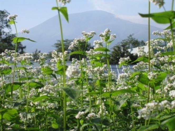 そば畑と浅間山