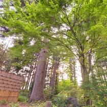 *樹齢380年以上と推定されている樅の木は、神社やお寺などの神聖な場所にしか植えられなかったもの。