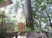 須佐神社の杉の木