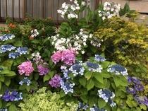 お庭・・・アジサイが咲きました。(2014.06)