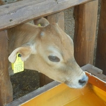 牧場「そら」の子牛