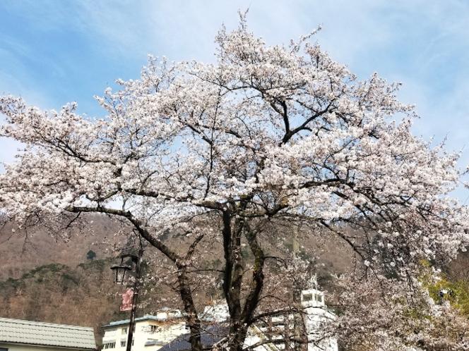 ホテル周辺の桜③
