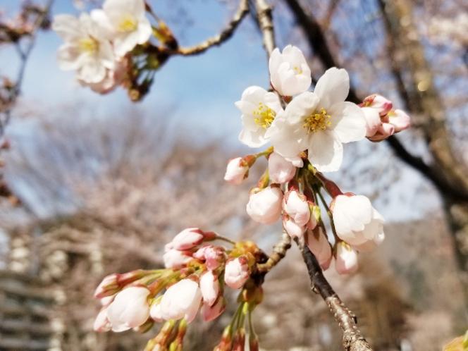 ホテル周辺の桜①