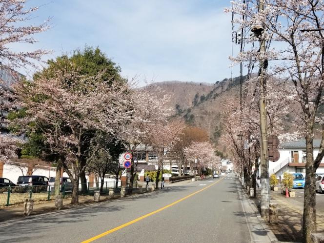 ホテル周辺の桜②