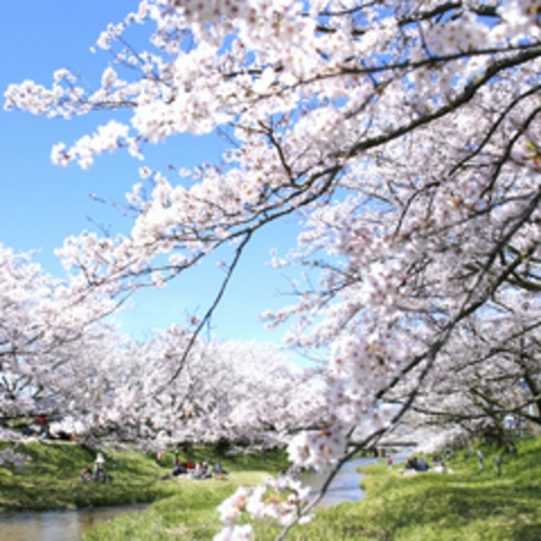 玉湯川堤防の桜