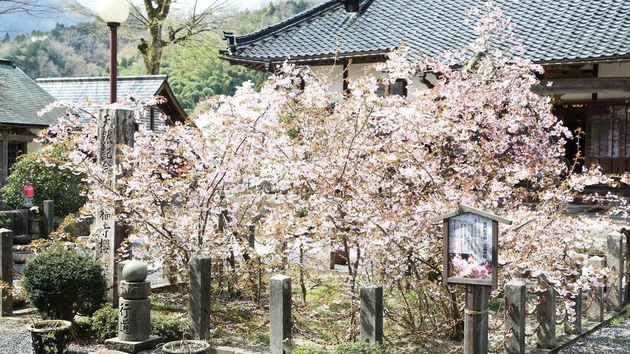 【湯村温泉/正福寺】正福寺桜は兵庫県新温泉町の天然記念物 当館より徒歩約5分