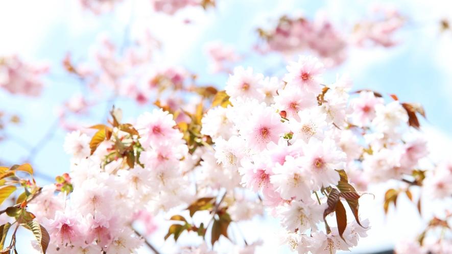 【正福寺桜】八重桜の変種(キンキマメザクラとヤマザクラの自然交配種)であり非常に珍しい品種の桜