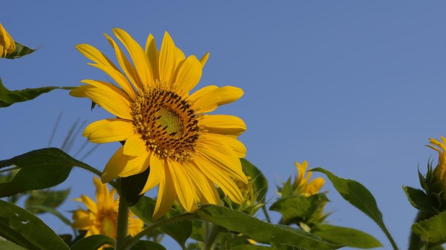 【たんとうひまわりまつり】畑一面に広がるひまわり 写真提供:但東シルクロード観光協会