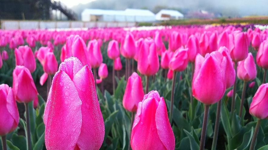 【たんとうチューリップまつり】4月中旬~下旬頃 写真提供:但東シルクロード観光協会