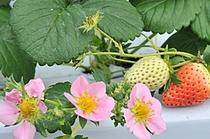 春はやっぱりイチゴ狩り