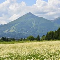 猪苗代ハーブ園のカモマイルと磐梯山