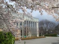 いちゑ外観 桜 ♪GW頃には見ごろかも♪