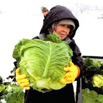 *柳津町の特産品「雪堀キャベツ」。一玉が4~5キロほどと大きく、その大きさにビックリ!