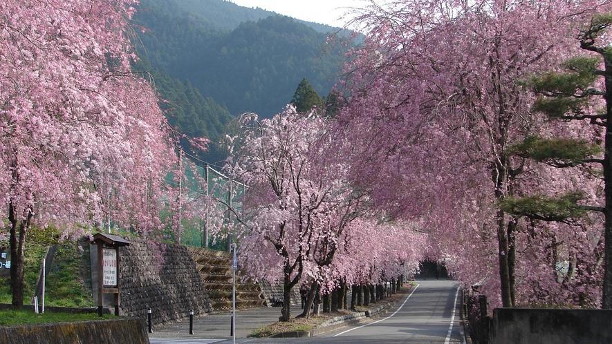 【徳山の桜】