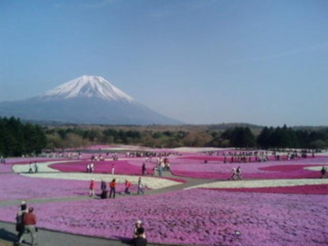 【富士 芝桜まつり】毎年4月下旬〜5月中旬開催。ホテルから車で約50分