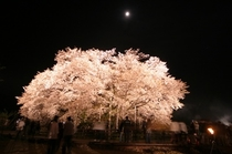 一心行の夜桜