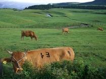 阿蘇の赤牛