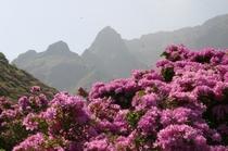 仙酔峡のつつじ(5月中旬)2