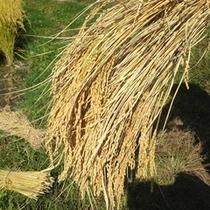 【お米】美味しさの秘密★自家製天日干しの新米の収穫