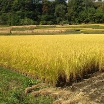 【お米】ごはんそのものも美味しい★自家製天日干しの新米の収穫