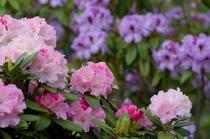 十津川の花