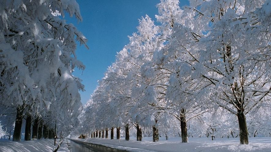 *冬のマキノ高原のメタセコイア並木