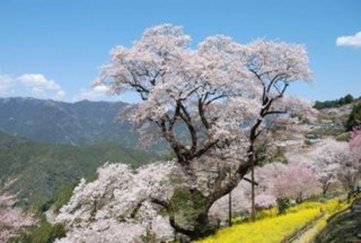 仁淀川町の桜地区のひょうたん桜3