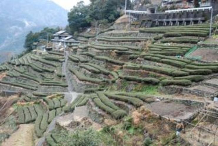 チャバタケ 仁淀川町の急傾斜地のお茶畑はその地形によっていろんなカタチ